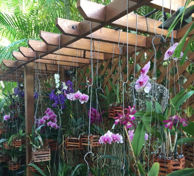 Orchids On Pergola