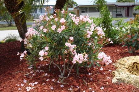 Dwarf Nerium Oleander