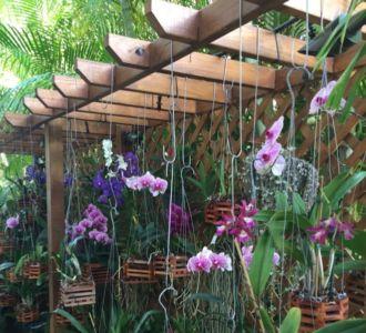 Orchids-on-pergola