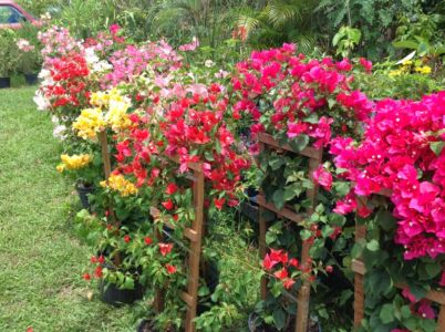 Bouganvillia-on-trellis