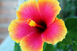 yellowandpinkhibiscus